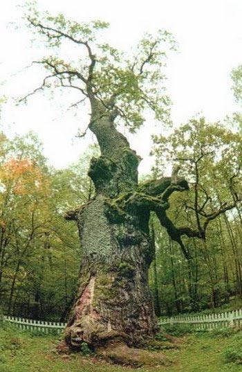 Найстаріший дуб Полісся